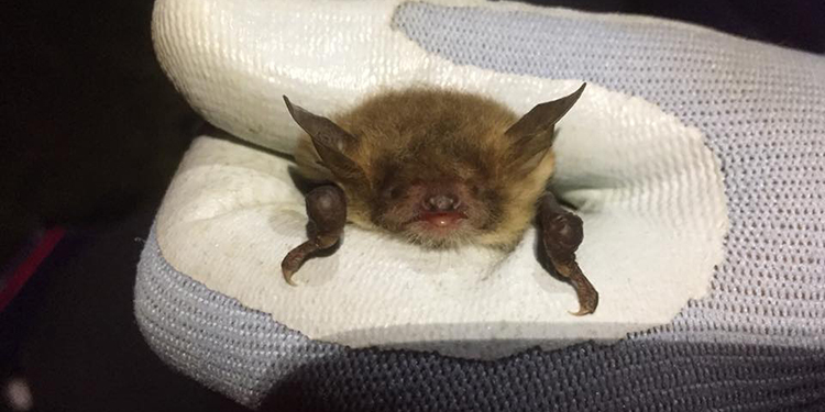 Natterer's bat, taken during a licenced trapping session © Mary Goddard