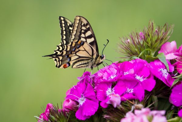 swallowtail on sweet william - paul beckett