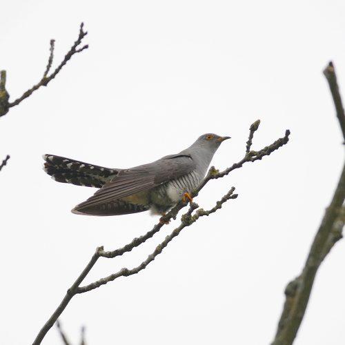 Cuckoo Male Wheatfen roger fay