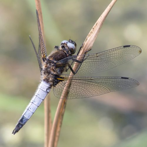 Male Scarce Chaser - Annie Kerridge