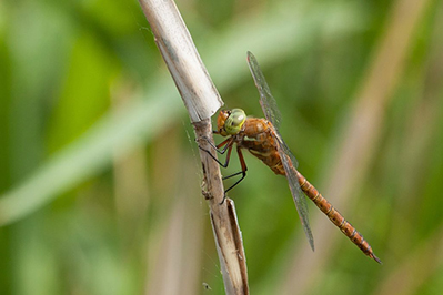 norfolk hawker phil corley