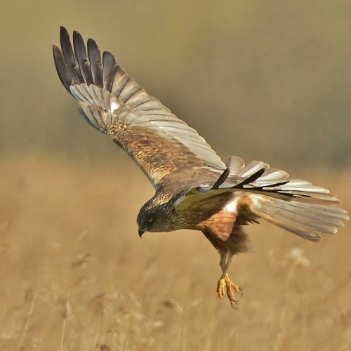 marsh harrier by liz dack