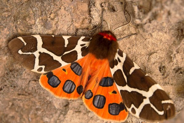 garden tiger moth by ann kerridge