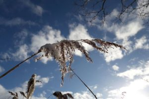 Frosted reed