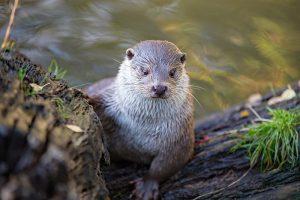 Eurasian otter