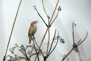 Sedge warbler by ann kerridge