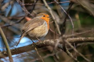 robin by ann kerridge