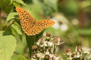 silver washed fritillary by ann kerridge