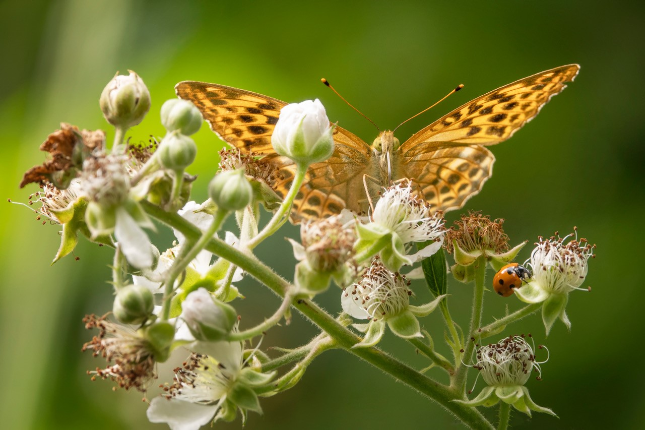 Return of the silver washed fritillary butterflies