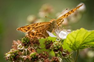 silver washed fritillary close up