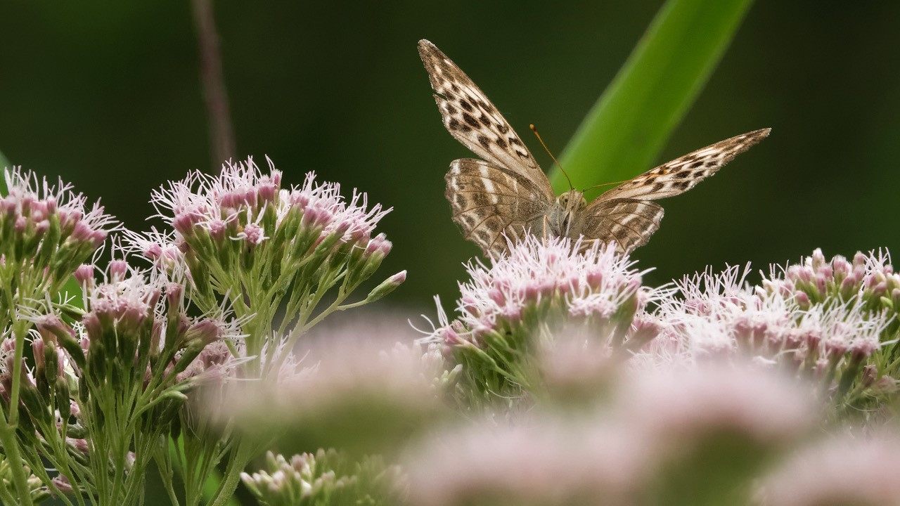 Valezina silver washed fritillary by Ann kerridge