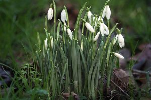 Snowdrops close up
