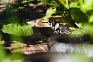 grass snake on path