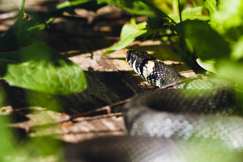 Grass snakes at Wheatfen